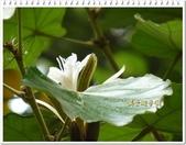 植物-梧桐科:槭葉翅子樹13