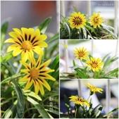 Ann的小花園:勳章菊20141012~1016.jpg