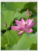 (yahoo)蓮花。荷花。千年桐:2012疏洪荷花公園荷花22