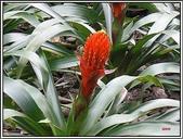 植物-鳳梨科:鳳梨科-火炬鳳梨