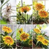 Ann的小花園:勳章菊20150301~0328.jpg