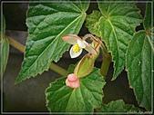 植物-秋海棠科:秋海棠科-水鴨腳