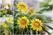 Ann的小花園:勳章菊20141104~1108.jpg