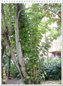 植物-梧桐科:槭葉翅子樹24