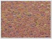 (yahoo)蕨類植物:蕨類植物-滿江紅科-滿江紅11