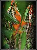 植物-旅人蕉科。棕櫚科:旅人蕉科-艷紅赫蕉03(植物園)