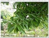 植物-梧桐科:梧桐科-台灣梭羅木05