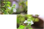 Ann的小花園:檸檬羅勒20151025.jpg