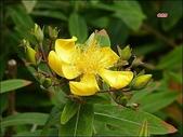 植物-金絲桃科:藤黃科(金絲桃科)-金絲桃11