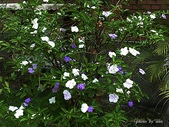 植物-美人襟科:美人襟科-變色茉莉