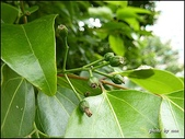 植物-樟科:樟科-陰香(二)25